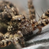 Voras | Fotografijos autorius : Vidas Brazauskas | © Macrogamta.lt | Šis tinklapis priklauso bendruomenei kuri domisi makro fotografija ir fotografuoja gyvąjį makro pasaulį.