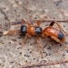 Vytis - Aptesis nigrocincta | Fotografijos autorius : Žilvinas Pūtys | © Macrogamta.lt | Šis tinklapis priklauso bendruomenei kuri domisi makro fotografija ir fotografuoja gyvąjį makro pasaulį.