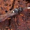 Vytis - Ichneumon extensorius ♀ | Fotografijos autorius : Žilvinas Pūtys | © Macrogamta.lt | Šis tinklapis priklauso bendruomenei kuri domisi makro fotografija ir fotografuoja gyvąjį makro pasaulį.