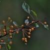 Zyboldo obelis - Malus sieboldii | Fotografijos autorius : Kęstutis Obelevičius | © Macrogamta.lt | Šis tinklapis priklauso bendruomenei kuri domisi makro fotografija ir fotografuoja gyvąjį makro pasaulį.