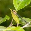 Elegantiškoji strėliukė (Ischnura elegans), patelė   Fotografijos autorius : Aleksandras Naryškin   © Macrogamta.lt   Šis tinklapis priklauso bendruomenei kuri domisi makro fotografija ir fotografuoja gyvąjį makro pasaulį.
