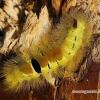 Calliteara pudibunda - Raudonuodegis verpikas | Fotografijos autorius : Vitas Stanevičius | © Macrogamta.lt | Šis tinklapis priklauso bendruomenei kuri domisi makro fotografija ir fotografuoja gyvąjį makro pasaulį.