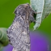 Gliufizija | Gluphisia crenata | Fotografijos autorius : Darius Baužys | © Macrogamta.lt | Šis tinklapis priklauso bendruomenei kuri domisi makro fotografija ir fotografuoja gyvąjį makro pasaulį.