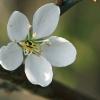 Vyšninė slyva - Prunus cerasifera   Fotografijos autorius : Gintautas Steiblys   © Macrogamta.lt   Šis tinklapis priklauso bendruomenei kuri domisi makro fotografija ir fotografuoja gyvąjį makro pasaulį.