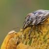Vėžliablakė - Odontotarsus robustus | Fotografijos autorius : Gintautas Steiblys | © Macrogamta.lt | Šis tinklapis priklauso bendruomenei kuri domisi makro fotografija ir fotografuoja gyvąjį makro pasaulį.