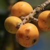 Japoninė lokva - Eriobotrya japonica | Fotografijos autorius : Gintautas Steiblys | © Macrogamta.lt | Šis tinklapis priklauso bendruomenei kuri domisi makro fotografija ir fotografuoja gyvąjį makro pasaulį.