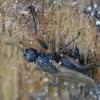 Sphaerocera curvipes | Fotografijos autorius : Gintautas Steiblys | © Macrogamta.lt | Šis tinklapis priklauso bendruomenei kuri domisi makro fotografija ir fotografuoja gyvąjį makro pasaulį.