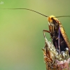 Auksiškoji ilgaūsė makštinė kandis - Adela cuprella | Fotografijos autorius : Gintautas Steiblys | © Macrogamta.lt | Šis tinklapis priklauso bendruomenei kuri domisi makro fotografija ir fotografuoja gyvąjį makro pasaulį.