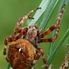 Kauburiuotasis kryžiuotis - Araneus angulatus | Fotografijos autorius : Gintautas Steiblys | © Macrogamta.lt | Šis tinklapis priklauso bendruomenei kuri domisi makro fotografija ir fotografuoja gyvąjį makro pasaulį.