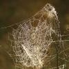 Rudeninio skylūnėlio - Metellina segmentata gaudomasis tinklas | Fotografijos autorius : Gintautas Steiblys | © Macrogamta.lt | Šis tinklapis priklauso bendruomenei kuri domisi makro fotografija ir fotografuoja gyvąjį makro pasaulį.