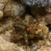 Smėlyninis pasalūnas - Arctosa perita  | Fotografijos autorius : Gintautas Steiblys | © Macrogamta.lt | Šis tinklapis priklauso bendruomenei kuri domisi makro fotografija ir fotografuoja gyvąjį makro pasaulį.