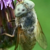 Sparva - Atylotus rusticus  | Fotografijos autorius : Gintautas Steiblys | © Macrogamta.lt | Šis tinklapis priklauso bendruomenei kuri domisi makro fotografija ir fotografuoja gyvąjį makro pasaulį.