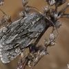 Kailiniuotasis naktinukas - Brachionycha nubeculosa | Fotografijos autorius : Gintautas Steiblys | © Macrogamta.lt | Šis tinklapis priklauso bendruomenei kuri domisi makro fotografija ir fotografuoja gyvąjį makro pasaulį.