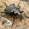 Žiaurusis puikiažygis - Calosoma inquisitor  | Fotografijos autorius : Gintautas Steiblys | © Macrogamta.lt | Šis tinklapis priklauso bendruomenei kuri domisi makro fotografija ir fotografuoja gyvąjį makro pasaulį.
