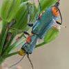 Pūsliavabalis - Clanoptilus marginellus  | Fotografijos autorius : Gintautas Steiblys | © Macrogamta.lt | Šis tinklapis priklauso bendruomenei kuri domisi makro fotografija ir fotografuoja gyvąjį makro pasaulį.