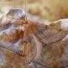 Rudasis rudeninis sprindžius - Colotois pennaria  | Fotografijos autorius : Gintautas Steiblys | © Macrogamta.lt | Šis tinklapis priklauso bendruomenei kuri domisi makro fotografija ir fotografuoja gyvąjį makro pasaulį.