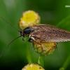 Miškinis prūsokas - Ectobius sylvestris  | Fotografijos autorius : Gintautas Steiblys | © Macrogamta.lt | Šis tinklapis priklauso bendruomenei kuri domisi makro fotografija ir fotografuoja gyvąjį makro pasaulį.