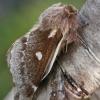 Pūkapilvis verpikas - Eriogaster lanestris | Fotografijos autorius : Gintautas Steiblys | © Macrogamta.lt | Šis tinklapis priklauso bendruomenei kuri domisi makro fotografija ir fotografuoja gyvąjį makro pasaulį.