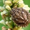Lenktagalvė vėžliablakė - Eurygaster testudinaria, nimfa  | Fotografijos autorius : Gintautas Steiblys | © Macrogamta.lt | Šis tinklapis priklauso bendruomenei kuri domisi makro fotografija ir fotografuoja gyvąjį makro pasaulį.