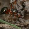 Mažoji miško skruzdėlė - Formica polyctena  | Fotografijos autorius : Gintautas Steiblys | © Macrogamta.lt | Šis tinklapis priklauso bendruomenei kuri domisi makro fotografija ir fotografuoja gyvąjį makro pasaulį.