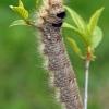 Ąžuolalapis verpikas - Gastropacha quercifolia, vikšras  | Fotografijos autorius : Gintautas Steiblys | © Macrogamta.lt | Šis tinklapis priklauso bendruomenei kuri domisi makro fotografija ir fotografuoja gyvąjį makro pasaulį.