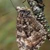 Pušyninis satyras - Hipparchia semele  | Fotografijos autorius : Gintautas Steiblys | © Macrogamta.lt | Šis tinklapis priklauso bendruomenei kuri domisi makro fotografija ir fotografuoja gyvąjį makro pasaulį.