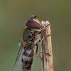 Žiedmusė - Syrphus torvus    Fotografijos autorius : Gintautas Steiblys   © Macrogamta.lt   Šis tinklapis priklauso bendruomenei kuri domisi makro fotografija ir fotografuoja gyvąjį makro pasaulį.