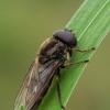 Žalutė - Cheilosia flavipes | Fotografijos autorius : Gintautas Steiblys | © Macrogamta.lt | Šis tinklapis priklauso bendruomenei kuri domisi makro fotografija ir fotografuoja gyvąjį makro pasaulį.