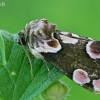 Rožinis pūkanugaris - Thyatira batis | Fotografijos autorius : Gintautas Steiblys | © Macrogamta.lt | Šis tinklapis priklauso bendruomenei kuri domisi makro fotografija ir fotografuoja gyvąjį makro pasaulį.