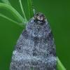 Drebulinis pūkanugaris - Ochropacha duplaris  | Fotografijos autorius : Gintautas Steiblys | © Macrogamta.lt | Šis tinklapis priklauso bendruomenei kuri domisi makro fotografija ir fotografuoja gyvąjį makro pasaulį.