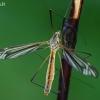 Ilgakojis uodas - Tipula vernalis  | Fotografijos autorius : Gintautas Steiblys | © Macrogamta.lt | Šis tinklapis priklauso bendruomenei kuri domisi makro fotografija ir fotografuoja gyvąjį makro pasaulį.