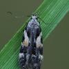 Lenktadėmė teleiodė - Teleiodes luculella | Fotografijos autorius : Gintautas Steiblys | © Macrogamta.lt | Šis tinklapis priklauso bendruomenei kuri domisi makro fotografija ir fotografuoja gyvąjį makro pasaulį.