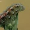 Žiedmusės - Eupeodes sp. lerva   Fotografijos autorius : Gintautas Steiblys   © Macrogamta.lt   Šis tinklapis priklauso bendruomenei kuri domisi makro fotografija ir fotografuoja gyvąjį makro pasaulį.