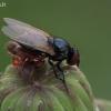 Musė (Lonchaeidae) užpulta pseudoskarpionų gaujos | Fotografijos autorius : Gintautas Steiblys | © Macrogamta.lt | Šis tinklapis priklauso bendruomenei kuri domisi makro fotografija ir fotografuoja gyvąjį makro pasaulį.
