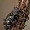 Mažasis pušinis straubliukas - Hylobius pinastri | Fotografijos autorius : Gintautas Steiblys | © Macrogamta.lt | Šis tinklapis priklauso bendruomenei kuri domisi makro fotografija ir fotografuoja gyvąjį makro pasaulį.