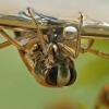 Paprastoji nugarplauka - Notonecta glauca | Fotografijos autorius : Gintautas Steiblys | © Macrogamta.lt | Šis tinklapis priklauso bendruomenei kuri domisi makro fotografija ir fotografuoja gyvąjį makro pasaulį.