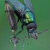 Žalioji lavonmusė - Lucilia sp. | Fotografijos autorius : Gintautas Steiblys | © Macrogamta.lt | Šis tinklapis priklauso bendruomenei kuri domisi makro fotografija ir fotografuoja gyvąjį makro pasaulį.