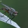 Sraigžudė - Pherbellia cinerella | Fotografijos autorius : Gintautas Steiblys | © Macrogamta.lt | Šis tinklapis priklauso bendruomenei kuri domisi makro fotografija ir fotografuoja gyvąjį makro pasaulį.