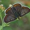 Tamsusis auksinukas - Lycaena tityrus  | Fotografijos autorius : Gintautas Steiblys | © Macrogamta.lt | Šis tinklapis priklauso bendruomenei kuri domisi makro fotografija ir fotografuoja gyvąjį makro pasaulį.