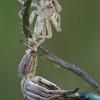 Didysis žvitravoris - Thanatus formicinus | Fotografijos autorius : Gintautas Steiblys | © Macrogamta.lt | Šis tinklapis priklauso bendruomenei kuri domisi makro fotografija ir fotografuoja gyvąjį makro pasaulį.