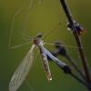 Uodas - Dicranomyia sp. | Fotografijos autorius : Gintautas Steiblys | © Macrogamta.lt | Šis tinklapis priklauso bendruomenei kuri domisi makro fotografija ir fotografuoja gyvąjį makro pasaulį.