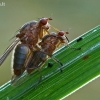 Musės - Dryomyza flaveola | Fotografijos autorius : Gintautas Steiblys | © Macrogamta.lt | Šis tinklapis priklauso bendruomenei kuri domisi makro fotografija ir fotografuoja gyvąjį makro pasaulį.