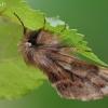 Rudeninis kuoduotis - Ptilophora plumigera | Fotografijos autorius : Gintautas Steiblys | © Macrogamta.lt | Šis tinklapis priklauso bendruomenei kuri domisi makro fotografija ir fotografuoja gyvąjį makro pasaulį.