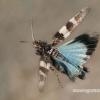 Mėlynsparnis tarkšlys - Oedipoda caerulescens  | Fotografijos autorius : Gintautas Steiblys | © Macrogamta.lt | Šis tinklapis priklauso bendruomenei kuri domisi makro fotografija ir fotografuoja gyvąjį makro pasaulį.
