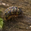Vėdarėlis - Armadillidium pulchellum | Fotografijos autorius : Gintautas Steiblys | © Macrogamta.lt | Šis tinklapis priklauso bendruomenei kuri domisi makro fotografija ir fotografuoja gyvąjį makro pasaulį.