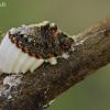 Australinis skydamaris - Icerya purchasi | Fotografijos autorius : Gintautas Steiblys | © Macrogamta.lt | Šis tinklapis priklauso bendruomenei kuri domisi makro fotografija ir fotografuoja gyvąjį makro pasaulį.