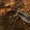 Plėšriablakė - Oncocephalus aspericollis | Fotografijos autorius : Gintautas Steiblys | © Macrogamta.lt | Šis tinklapis priklauso bendruomenei kuri domisi makro fotografija ir fotografuoja gyvąjį makro pasaulį.