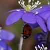 Triskiautė žibutė - Hepatica nobilis su boruže | Fotografijos autorius : Gintautas Steiblys | © Macrogamta.lt | Šis tinklapis priklauso bendruomenei kuri domisi makro fotografija ir fotografuoja gyvąjį makro pasaulį.