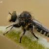 Plėšriamusė - Pycnopogon sp. | Fotografijos autorius : Gintautas Steiblys | © Macrogamta.lt | Šis tinklapis priklauso bendruomenei kuri domisi makro fotografija ir fotografuoja gyvąjį makro pasaulį.