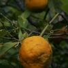 Apelsininis citrinmedis - Citrus sinensis | Fotografijos autorius : Gintautas Steiblys | © Macrogamta.lt | Šis tinklapis priklauso bendruomenei kuri domisi makro fotografija ir fotografuoja gyvąjį makro pasaulį.
